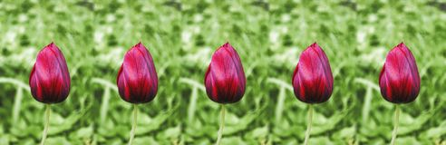 Red tulips panorama Royalty Free Stock Images