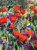 Red Tulips and Pansies. Garden with red tulips and purple pansies Stock Photo