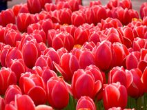 Red Tulips in a park. Red tulips in the spring sunshine in a park Stock Photography