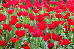 Red tulips. In the park Stock Photo