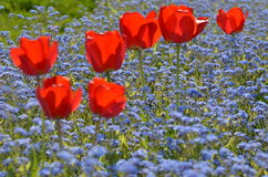 Red tulips in park Royalty Free Stock Image