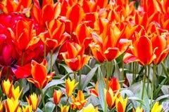 Red tulips park Keukenhof - flower garden, Holland Royalty Free Stock Photography