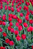 Red tulips in the park Royalty Free Stock Photo
