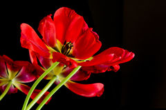 Red tulips pattern on black background Stock Images
