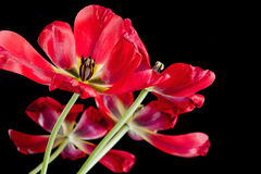 Red tulips pattern on black background Royalty Free Stock Photography