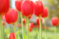 Red Tulips Photographed on Sunny Day. Red tulips in a large flower bed, taken on a sunny day.  Hints of yellow in the petals, stems and grass are light green Stock Photography