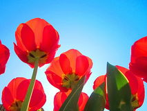 Red tulips. Photography of red tulips Stock Images