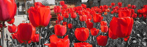 Red tulips. Photography of red tulips in garden Royalty Free Stock Images