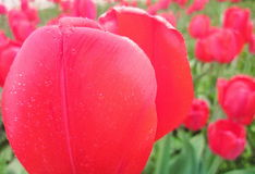 Red tulips. Photography of red tulip flowers in garden Royalty Free Stock Images
