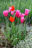Red tulips. Red and pink tulips blooming Stock Photo