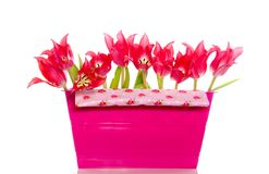 Red tulips in a plastic box Stock Image