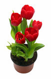 Red tulips in pot Stock Photos