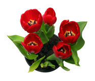 Red tulips in pot Stock Photo