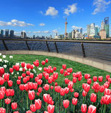 Red tulips prospects of Shanghai bund Lujiazui city landmark sky. Red tulips prospects of Shanghai bund of Lujiazui Finance&Trade Zone at sunny skyline stock images