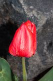Red tulips after rain Royalty Free Stock Images