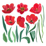 Red tulips set Royalty Free Stock Images