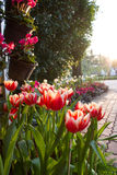 Red tulips. In side way of thailand stock photo