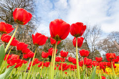 Red tulips and sky in the park Stock Photo