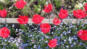 Red tulips. And small blue flowers in spring stock video footage