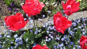 Red tulips. And small blue flowers in spring stock footage