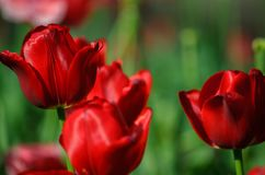 Red tulips on a smooth green backgroung royalty free stock image