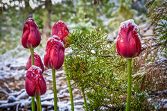 Red Tulips In Snow. Red tulips blooming during the first snow fall Stock Photos