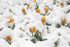 Red tulips are in the snow Stock Photo