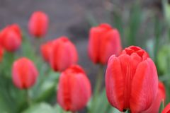 Red tulips for special day royalty free stock photo
