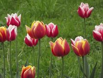Red tulips. Sping. Nature is wake up Royalty Free Stock Image