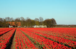 Red tulips in spring Royalty Free Stock Images