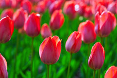 Red tulips  in spring Stock Photos