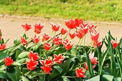 Red tulips in spring Stock Images