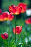 Red tulips in spring Royalty Free Stock Photos