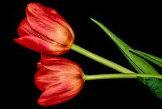 Red Tulips. Tulips are spring-blooming perennials that grow from bulbs. Depending on the species, tulip plants can be between 4 inches 10 cm and 28 inches 71 cm Royalty Free Stock Photo