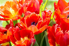 Red tulips in spring. Close up of some red tulips in spring Stock Photos