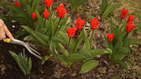 Red tulips in spring day, top view. Watered beautiful red tulips in spring day stock video footage