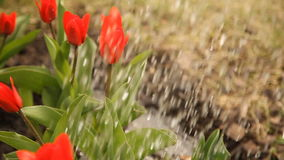 Red tulips in spring day, top view. Watered beautiful red tulips in spring day stock footage