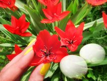 Red tulips spring flowers vivid color and Easter eggs background Royalty Free Stock Photos