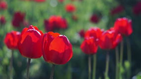 Red Tulips in the Spring Garden. Swaying in the Wind stock footage