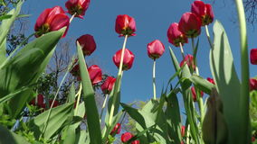 Red Tulips in the Spring Garden. Swaying in the Wind. Bottom View stock video