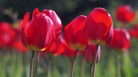 Red Tulips in the Spring Garden. Swaying in the Wind. Bottom View stock footage