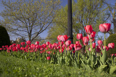 Red tulips in spring Stock Photography