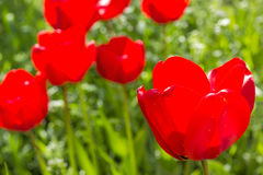 Red tulips on the spring meadow, backlit Royalty Free Stock Images