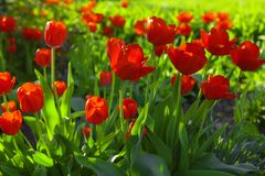 Red tulips in the spring Stock Image