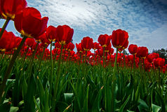 Red tulips. Spring shooting in the botanical garden of red tulips Stock Photo