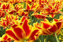 Red tulips in spring time Royalty Free Stock Images