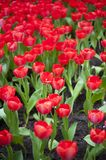 These red tulips are springtime beauties. Vertical shot of some beautiful fully grown red garden tulips during springtime season stock images