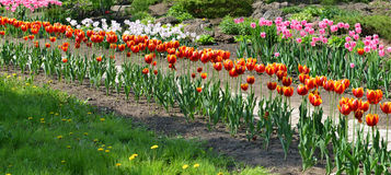 Red tulips in springtime Royalty Free Stock Image