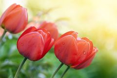 Red tulips in summer yellow light close up.  Royalty Free Stock Photo