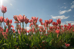 Red tulips and sun rays. Red tulip with blue sky and cloud Stock Photo